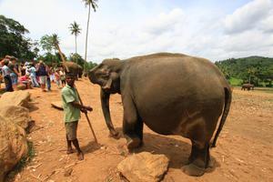 Беременная слониха показана на фото