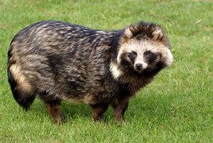 Характерное описание енотовидной собаки