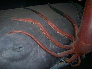 Кашалот и кальмар - удачная охота гиганта морей
