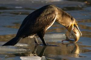 Бакланы: описание морской птицы и фото, ареол обитания и виды