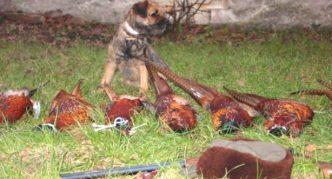Бордер-терьер и фазаны
