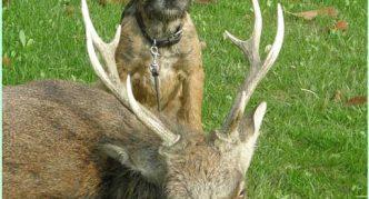 Бордер-терьер и олень