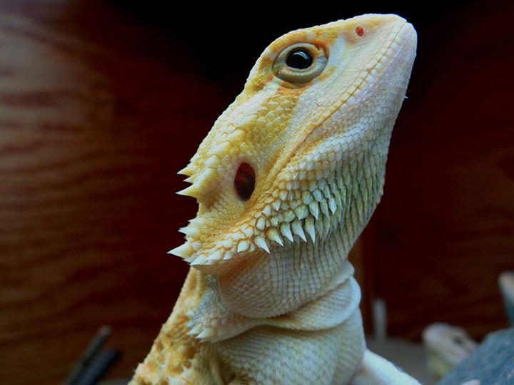 Бородатая агама-леуцист