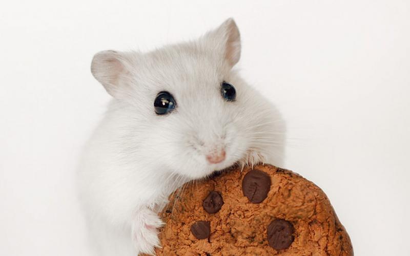 Хомяк ест печенье