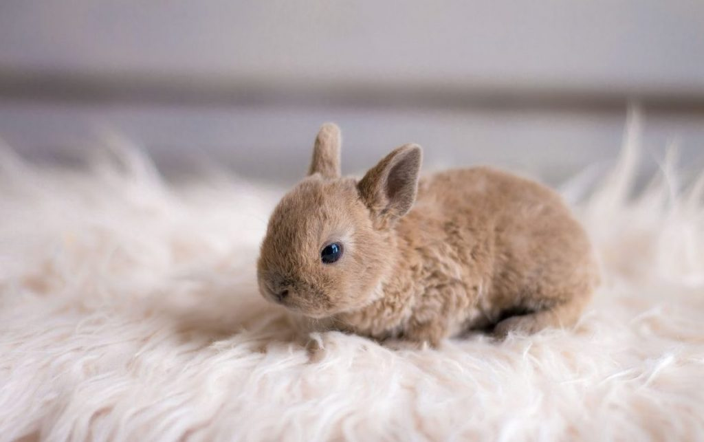 Кролик Карлик Рекс