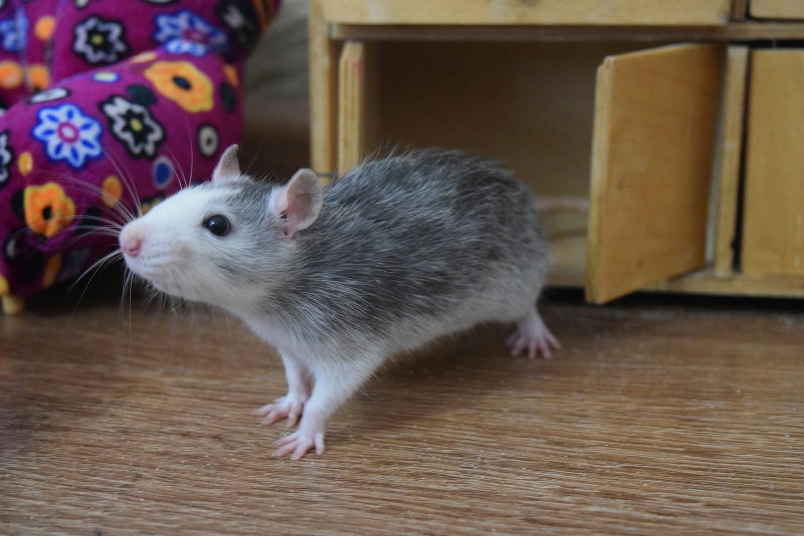 Декоративные крысы, описание, разновидности, уход, содержание 37