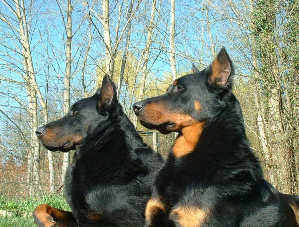 Собаки породы босерон лежат на фоне деревьев