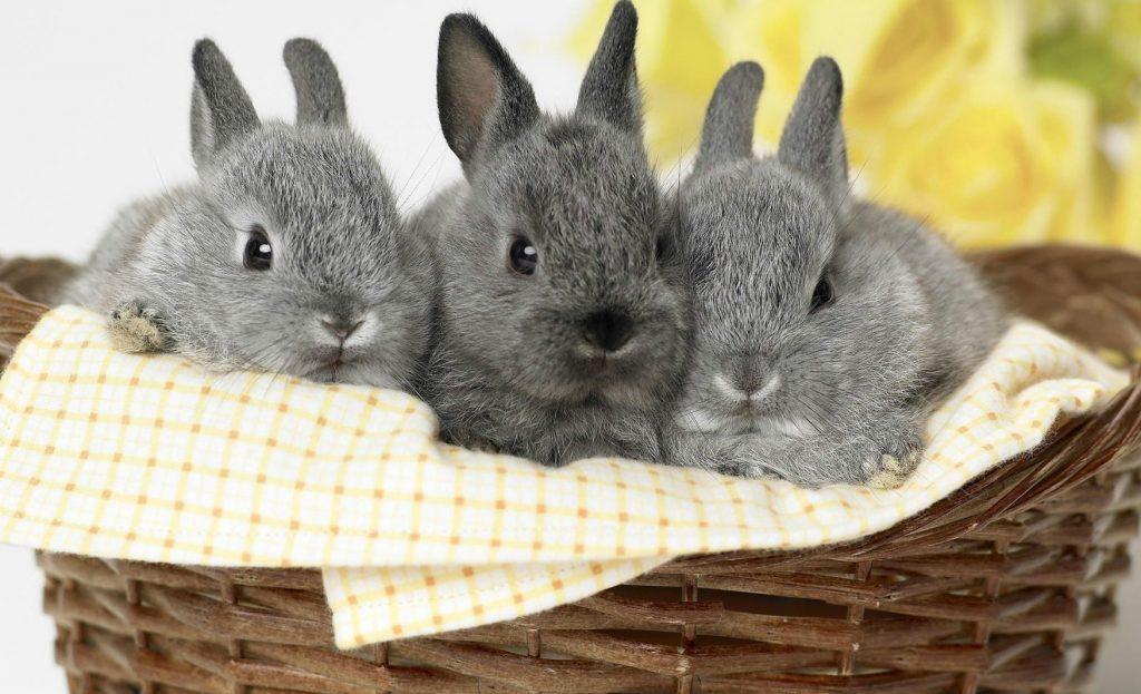 Разведение карликовых кроликов