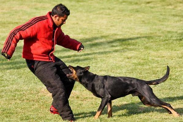 Босерон во время тренировки кусает тренера за ногу