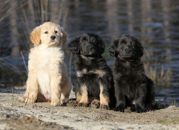 Три окраса щенков ховаварта