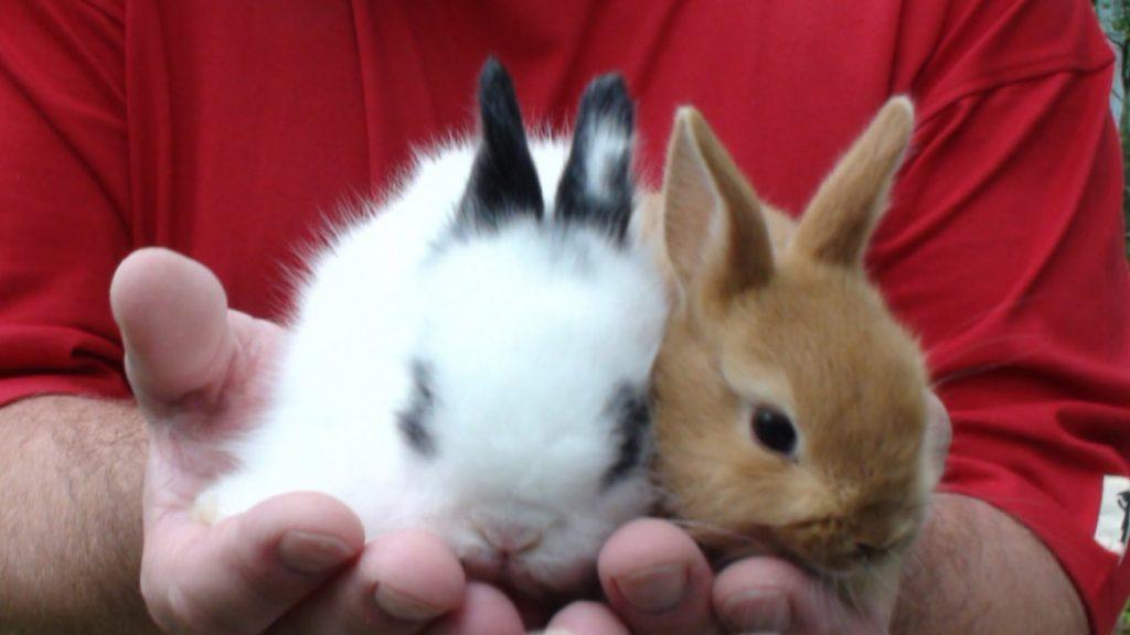 Вязка декоративных кроликов