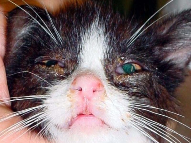 Кожное заболевание у кошек около хвоста