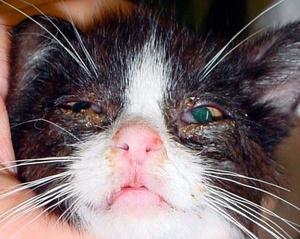 чумка у котят симптомы