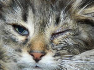 Чем чистить глаза котенку: советы ветеринаров 54
