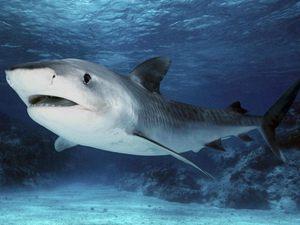 фото рыба акула