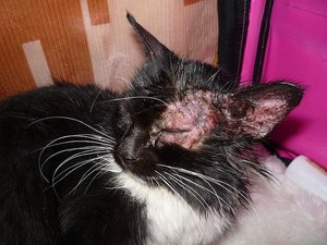 лечение лишая у котов в домашних условиях