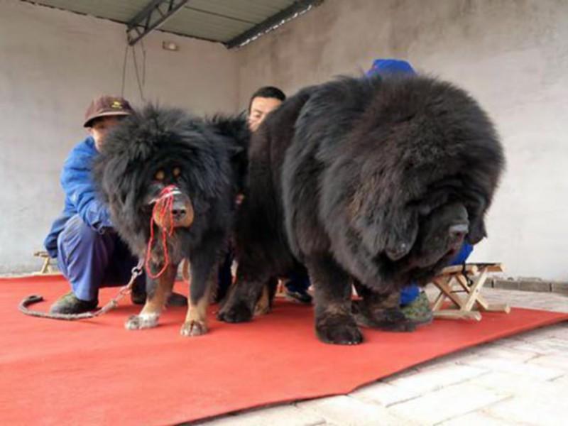 самый большой тибетский мастиф с человеком фото