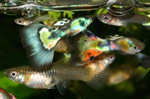 Гуппи рыбка
