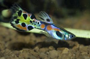 Аквариумная рыба гуппи