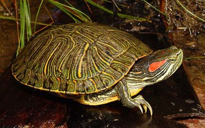 Размножение черепах в домашних условиях, основные моменты 76