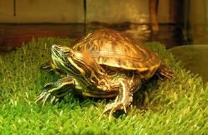 Размножение черепах в домашних условиях, основные моменты 92