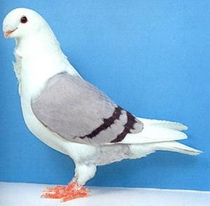 голуби всех пород
