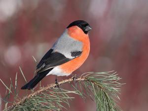 снегирь фото птица