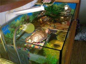 Красноухие черепахи в домашних условиях 956