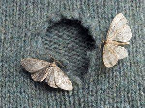 Вред от домашних насекомых молей