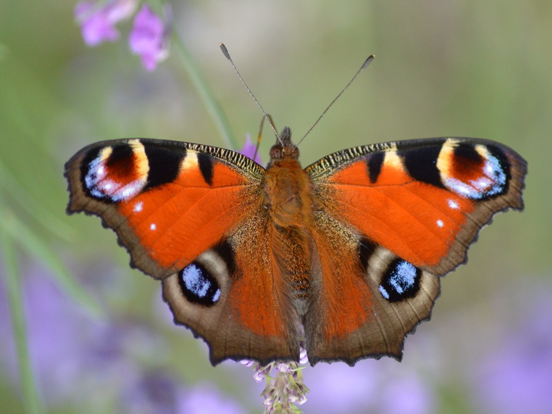 Бабочка павлиний глаз- описание насекомого и особенности развития