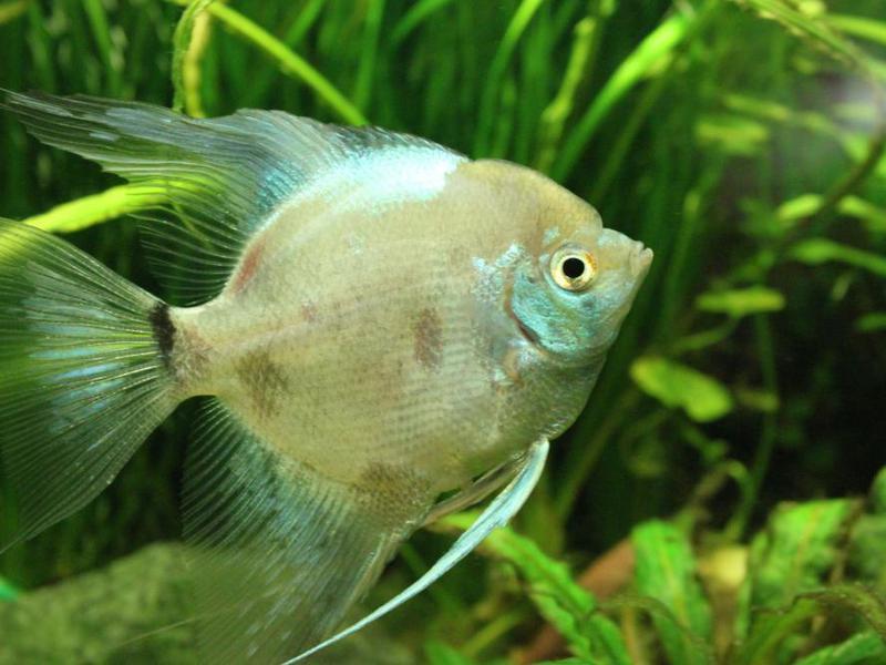 Самец рыбки скалярий