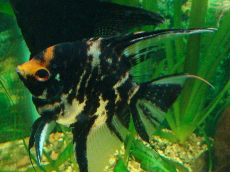 Аквариумная рыбка скалярий