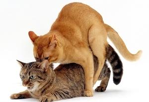 что чувствует кошка когда у нее течка