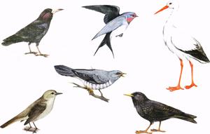 Перелетные птицы: названия для детей, описание, список. Фото 29