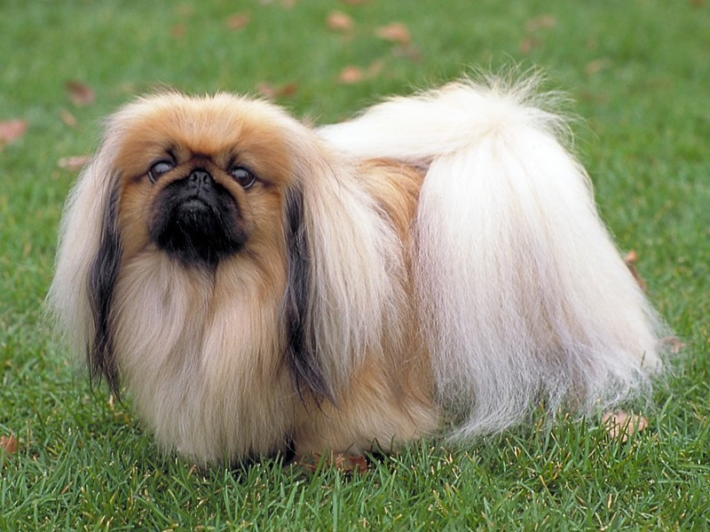 Описание разновидности собак Пекинесов