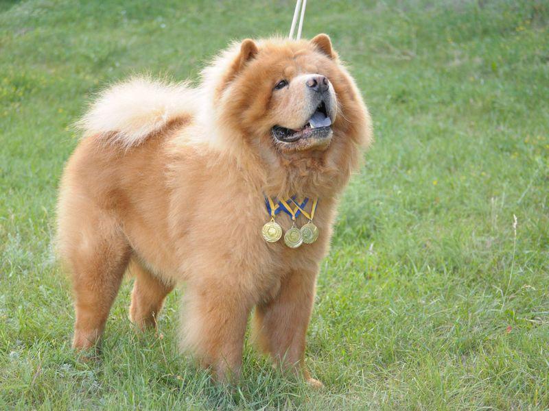Описание породы собак Чау-чау