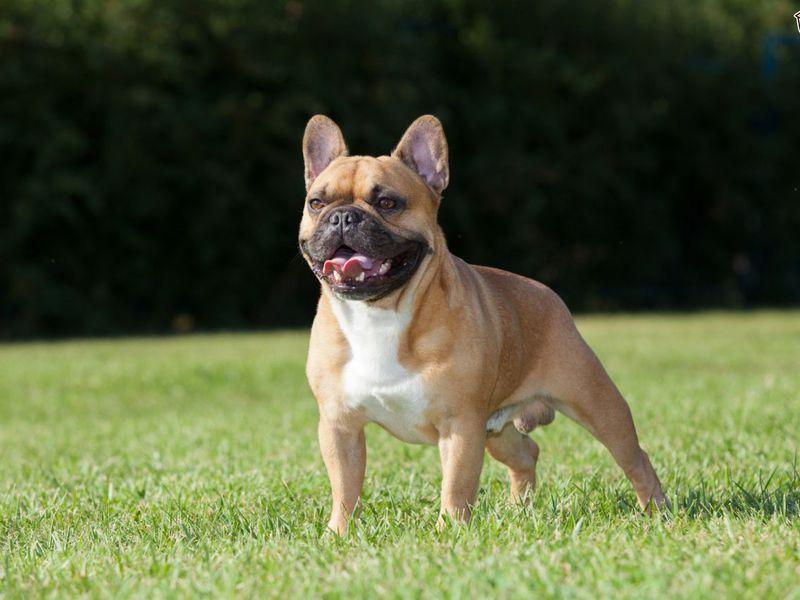 Характеристика породы собак Французских бульдогов