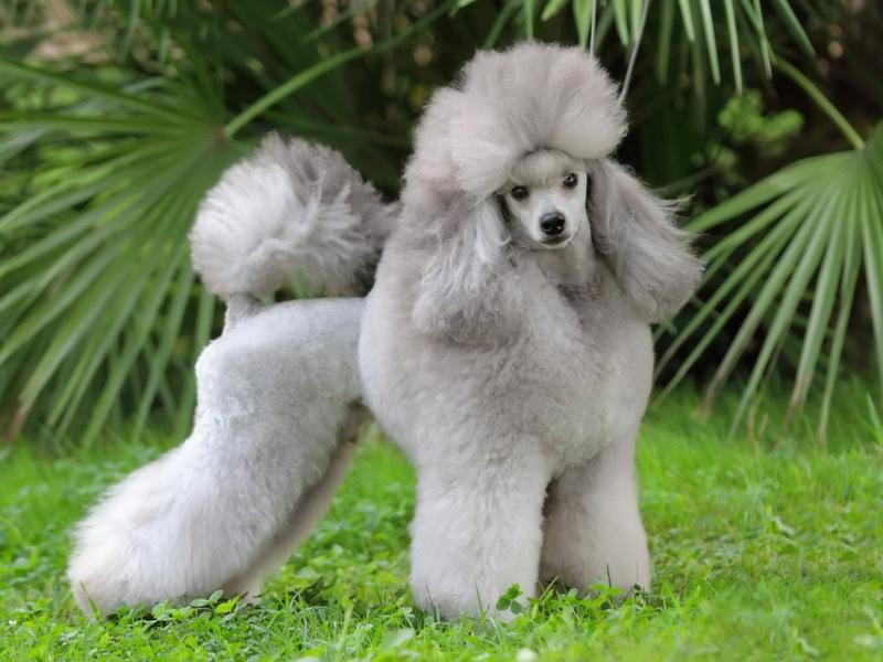Особенности внешнего вида собак-Пуделей