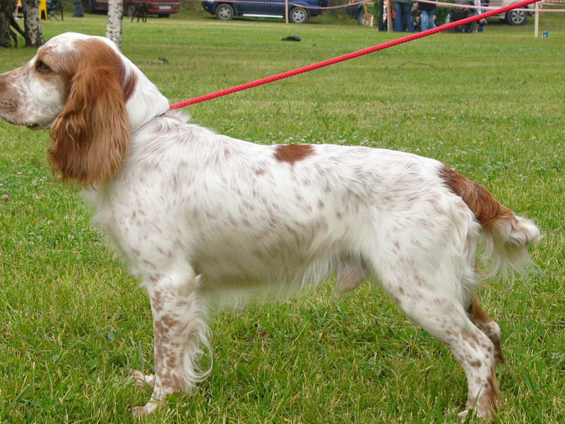 Характеристика породы собак Русских охотничих спаниелей