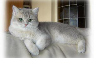 прямоухие шотландские кошки фото