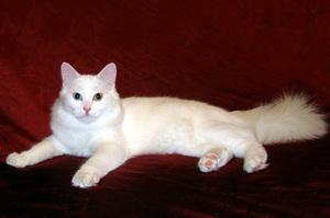 ангорские коты