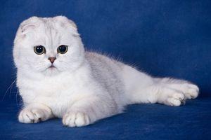 кот белый британец