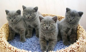 Британская короткошерстная кошка – фото, описание характера ... | 182x300