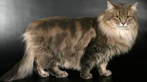 описание сибирского кота