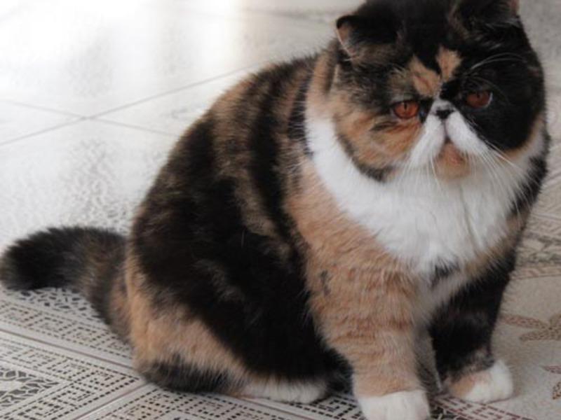 Член у кота