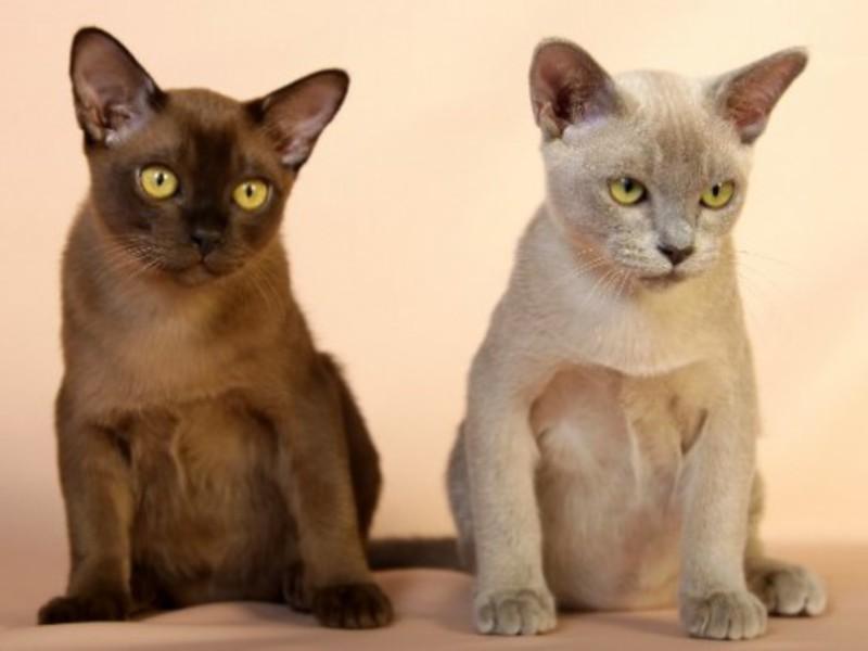 коты бурма