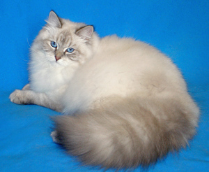 особенности невской маскарадной кошки