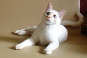 тайская белая кошка