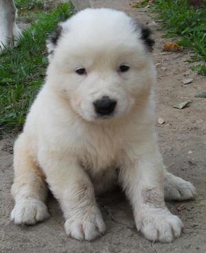 порода собак алабай цена