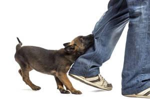 Каким образом отучить щенка кусаться и хватать за ноги